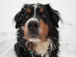 Bernský salašnický pes Gerry v zimě