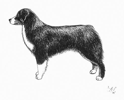 Ilustrace správného postoje Miniaturního amerického ovčáka