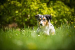Miniaturní americký ovčák Minnie lažící v trávě