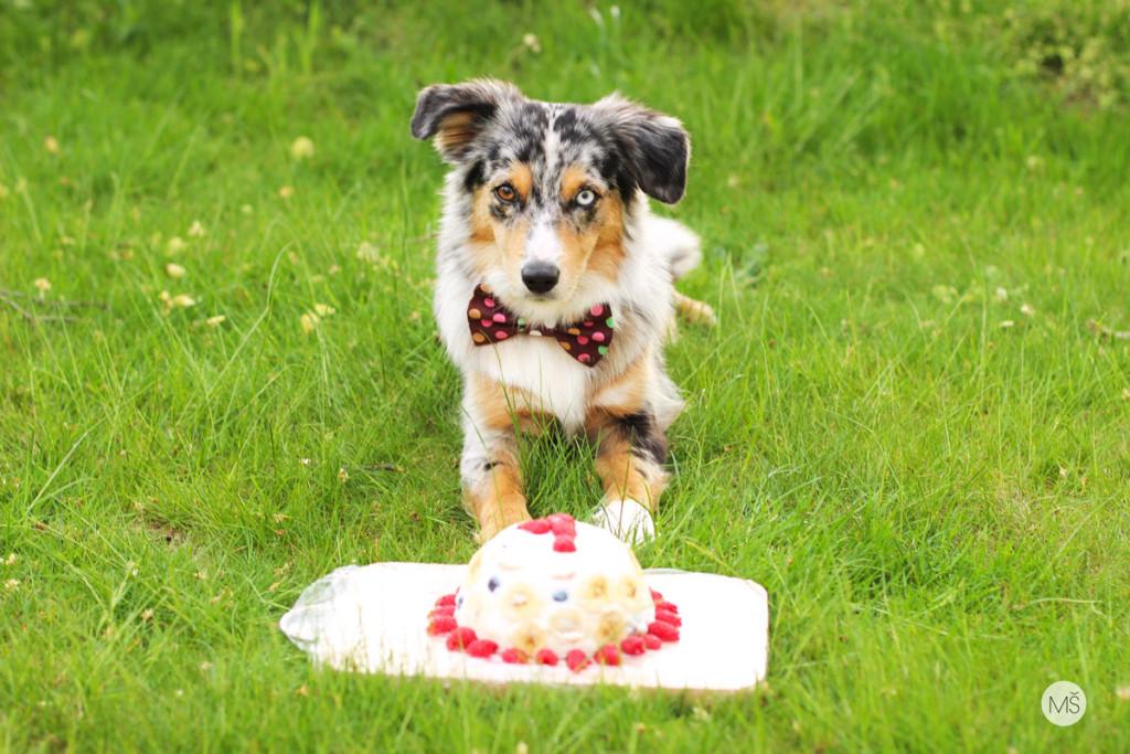 Miniaturní americký ovčák Minnie s dortem k prvním narozeninám